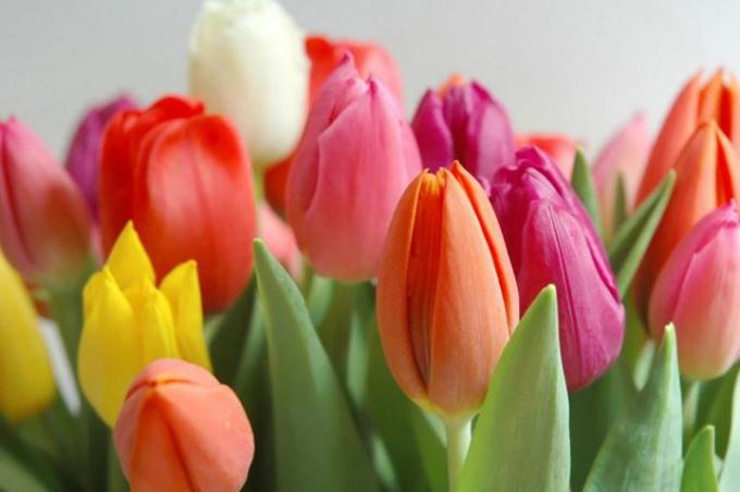 Вторая жизнь срезанных тюльпанов