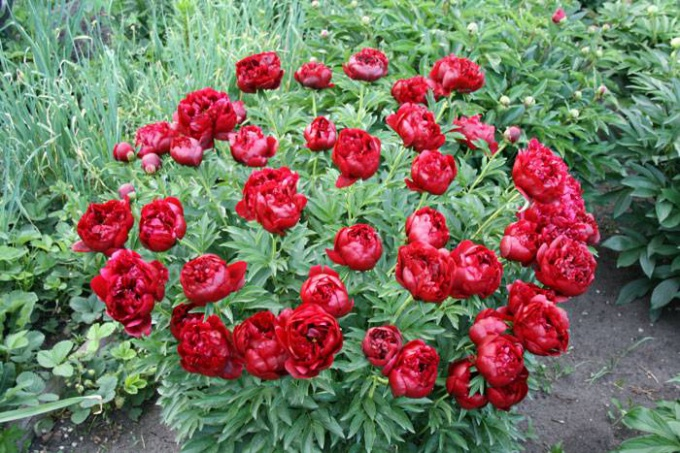 How to achieve lush flowering peony