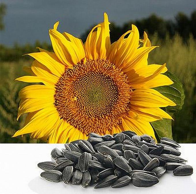 Чем полезны семена подсолнечника