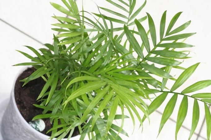 Трудности в выращивании пальмы