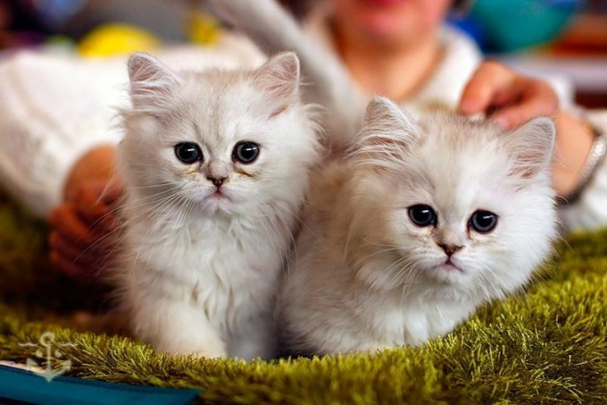 устроить выставку кошек
