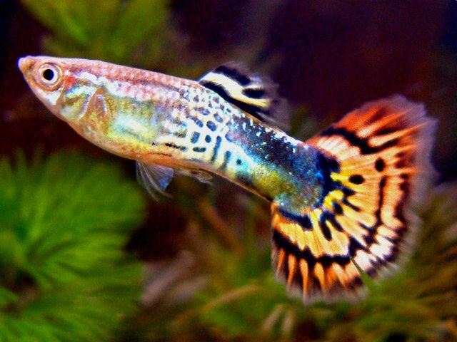 How to care for guppies