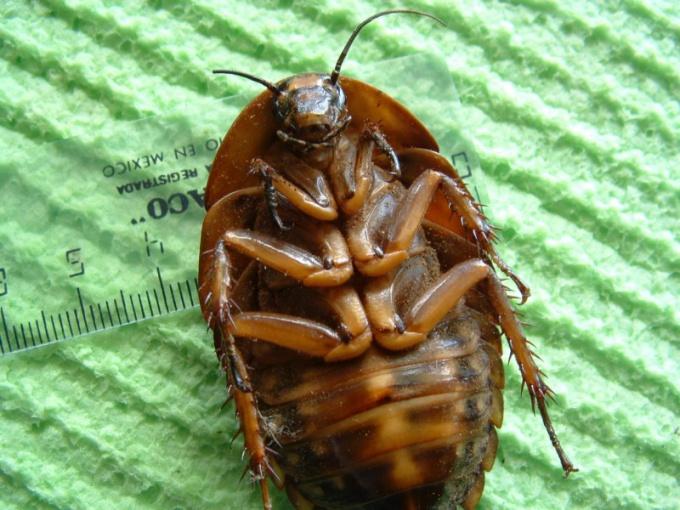 Тараканы могут не только переносить инфекцию, но и вызывать аллергию