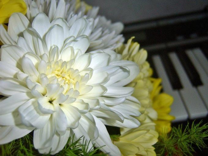 Как ухаживать за домашними хризантемами