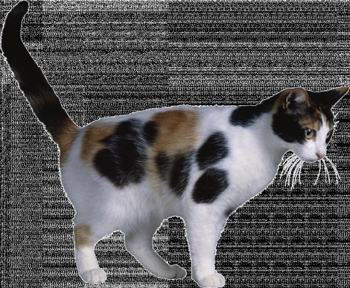 Современная домашняя кошка