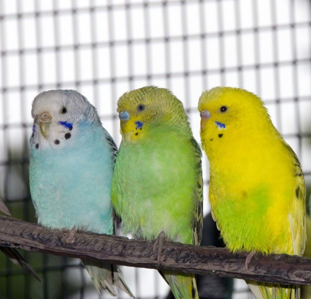 Budgies with good care can live up to 17 years