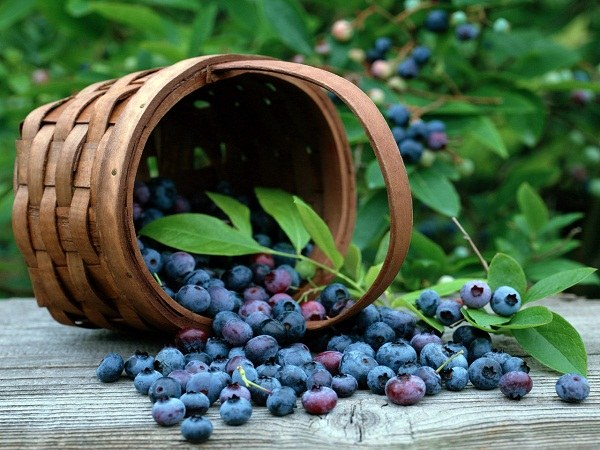 «Скрепить» желудок при поносе помогут ягоды черники, из которых варят кисель