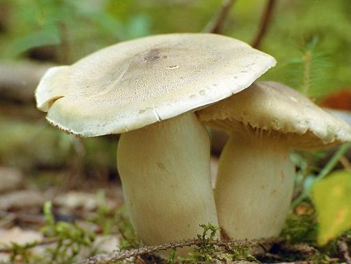 Что можно приготовить из гриба-песочника