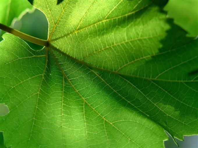 Лист - орган растения