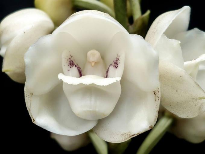 Орхидея-голубь