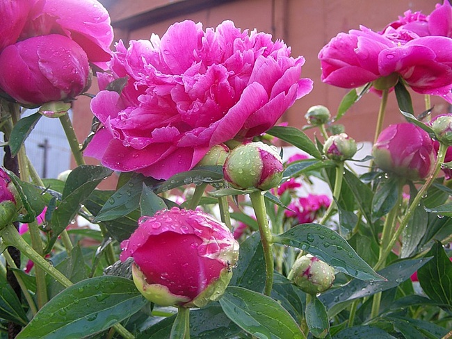 10 причин, по которым не цветут пионы