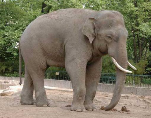 Чем отличается индийский слон от африканского