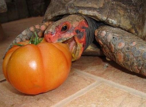 едят черепахи