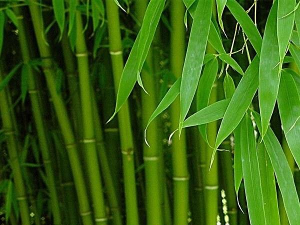 Как вырастить домашний бамбук