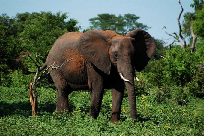 Сколько весит слон
