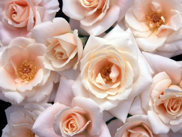How to choose fresh roses