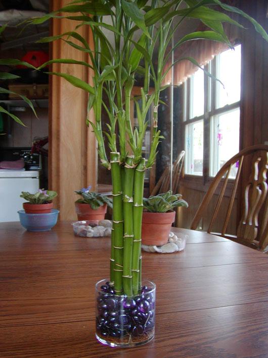 Бамбук комнатный и уход