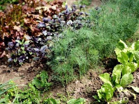 Какие растения в огороде нельзя сажать рядом