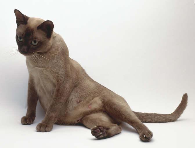 Как узнать, когда ждать котят от кошки