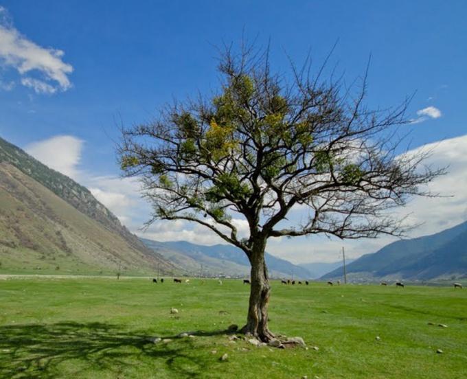 Анчар считается деревом смерти