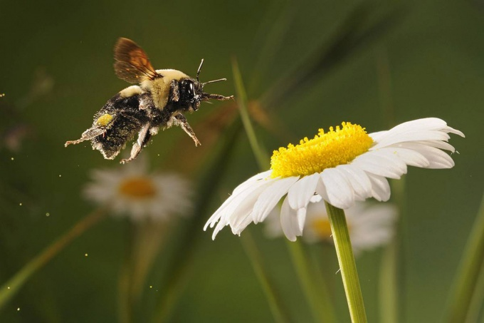 пчела над цветком