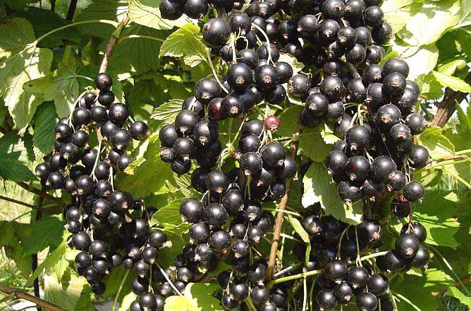 Сорта черной смородины, устойчивые к мучнистой росе