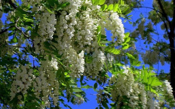 How to plant acacia