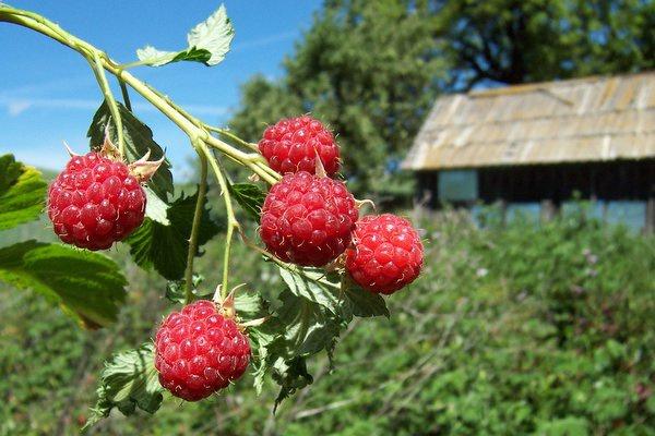 Посадка малины в древесные траншеи намного увеличит урожай