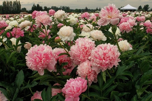 Why peonies don't bloom