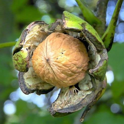Как вырастить дерево грецкого ореха