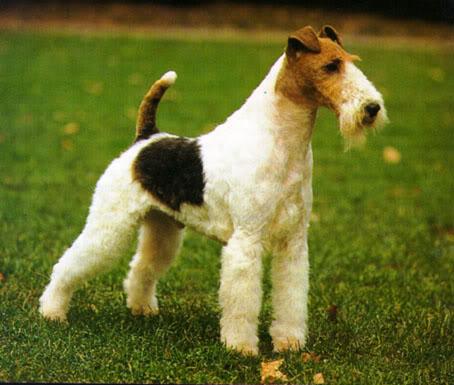 Тримминг жесткошерстных собак