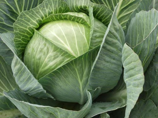 How to plant cabbage in the open ground
