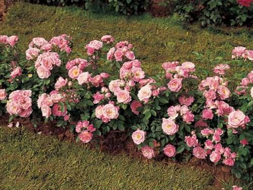 РОР / САЖЕНЦЫ ПИТОМНИКА / Розы лилипуты (Миниатюрные, Патио)