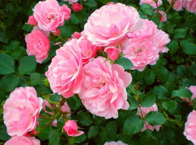 Как посадить розы на участке