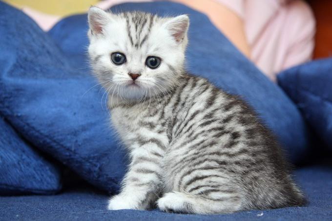 Как ухаживать за британским котом?
