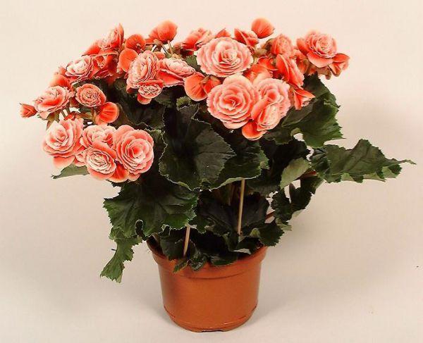 Домашние цветы бегония с
