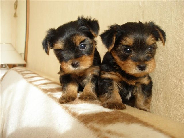 How to care for a Yorkshire Terrier puppy