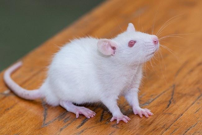 Ухаживать за декоративной крысой нужно с умом!