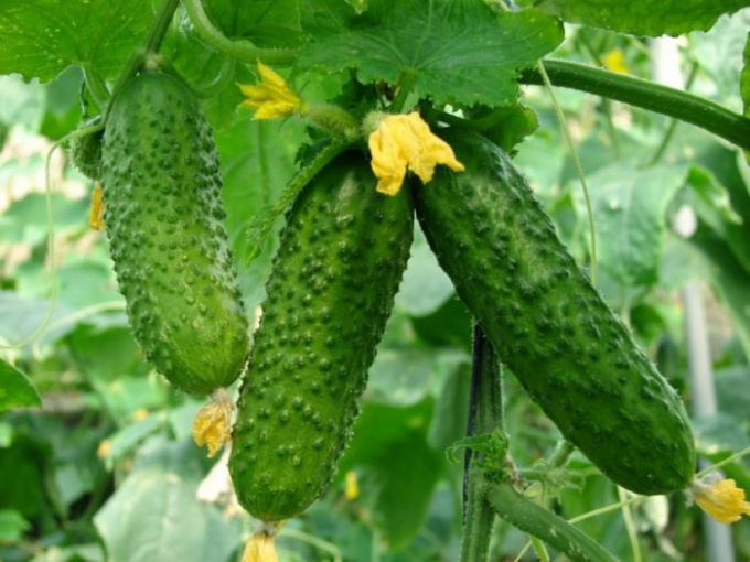 How to grow cucumbers neharika