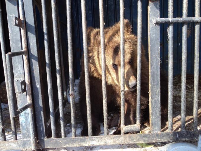 Медвежонок ждет своих опекунов