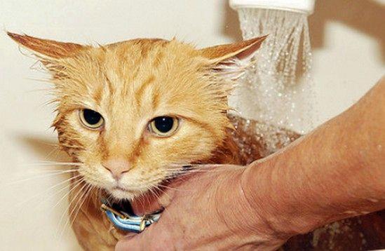 Банный день для кошки