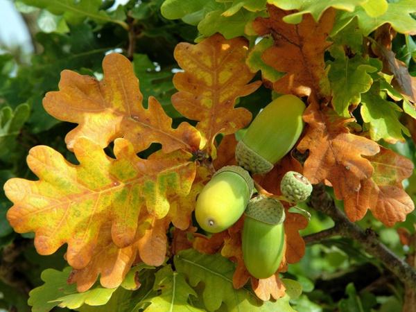 Выращивание дуба из желудя