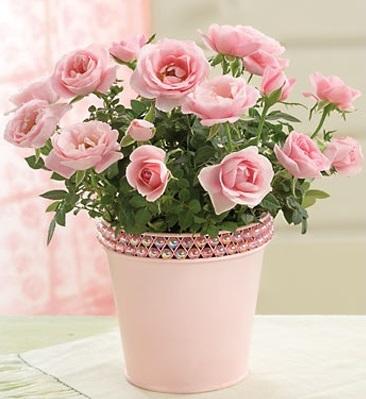 Горшечная роза: уход за новым растением
