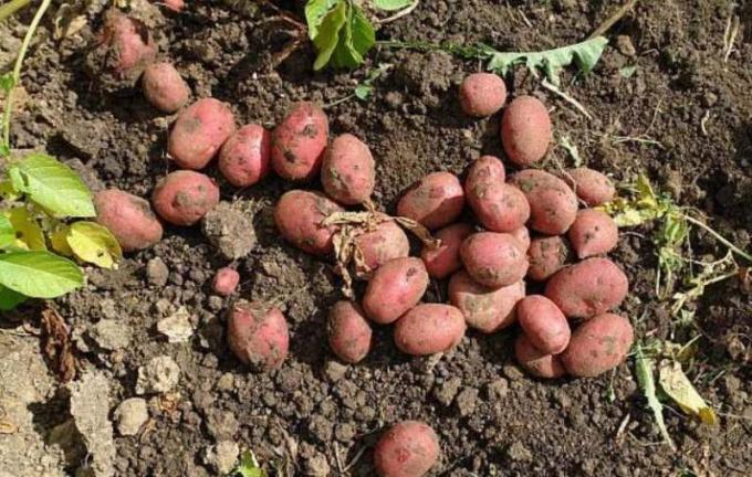Способы размножения картофеля