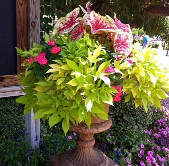 Декоративно-лиственные растения в контейнерном озеленении