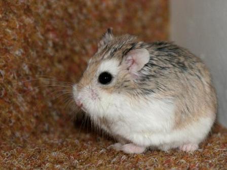 Hamsters Roborovskogo