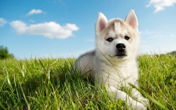Как выбрать щенка хаски при покупке