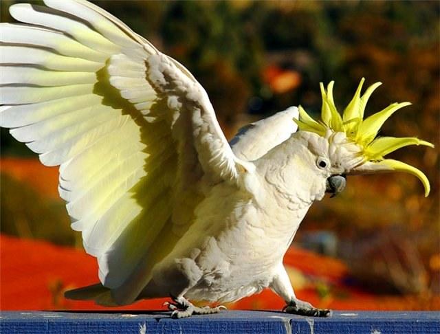 Как ухаживать за попугаем какаду?