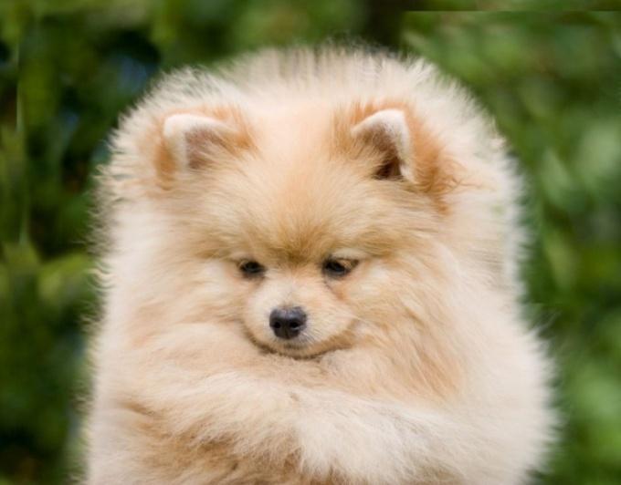 рацион питания щенка немецкой овчарки 3 месяца