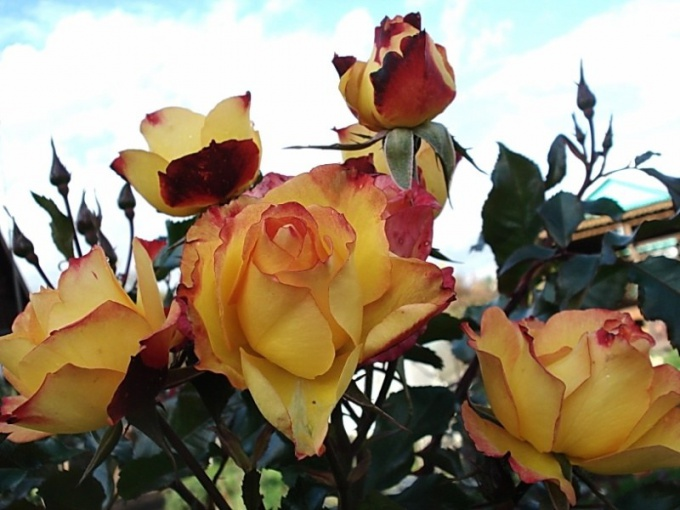 Rose varieties suitable for cultivation in Central Russia